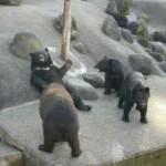 秋田県阿仁牧場の熊たちを訪ねる