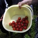 ミニトマトと黄色いトマトも採りました
