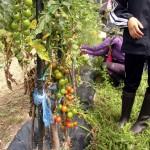 グリーンカレーのサラダとピザの具としてのトマトの採取