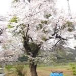 2016春の白神自然学校一ツ森校・校庭の桜